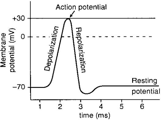 Action Potential Of A Skeletal Muscle Fibrewhere Is Calcium