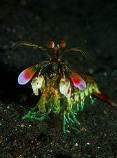 170px-Mantis_shrimp_from_front.jpg
