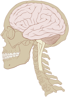 225px-Skull_and_brain_normal_human.svg.png