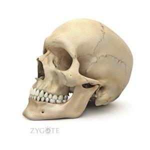 3D_model_anat_skull_web1.jpg