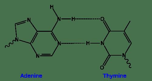 500px-AT_DNA_base_pair.svg.png