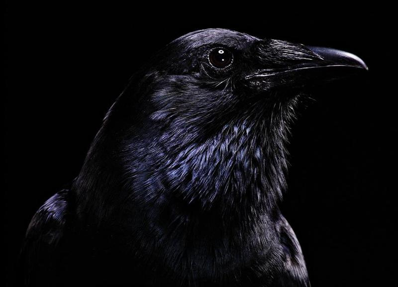 5_crow.jpg