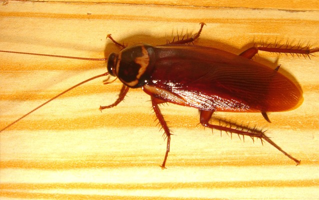 67219d1282567964-there-flying-roaches-maine-roach_palmetto.jpg