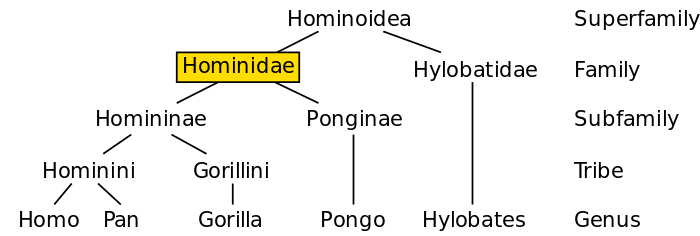 700px-Hominidae_chart.svg.png