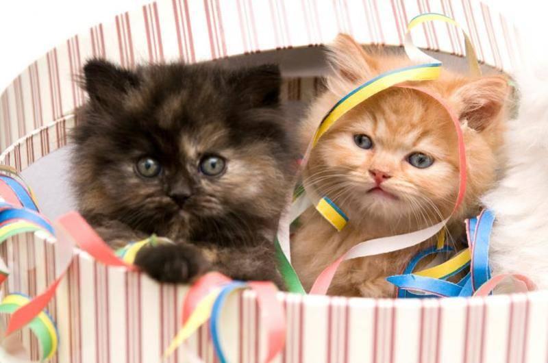 89961-850x563-persian-kittens-in-box.jpg
