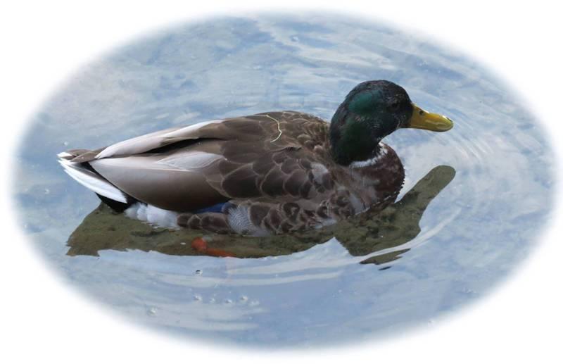 _duck1-jpg.109128.jpg