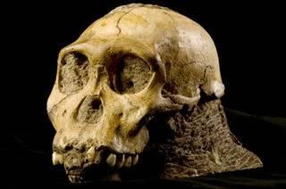 alg_skull_australopithecus.jpg