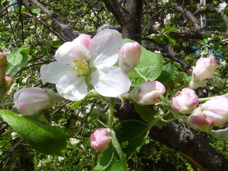 appleblossom-1.jpg
