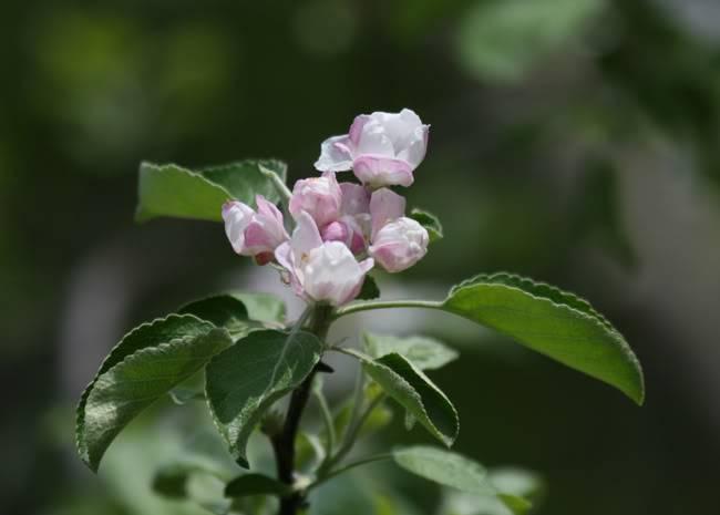 appleblossoms.jpg
