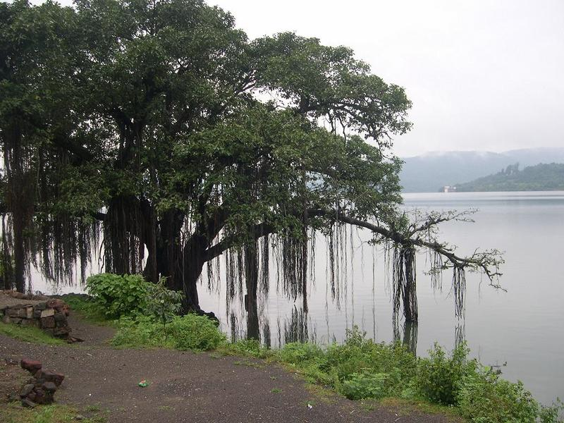 Banyan_tree_on_the_banks_of_Khadakwasla_Dam.jpg
