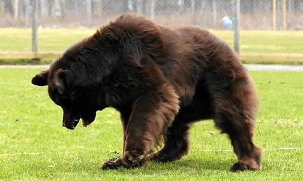 bear-like-dog-breeds-newfoundland-dog.jpg