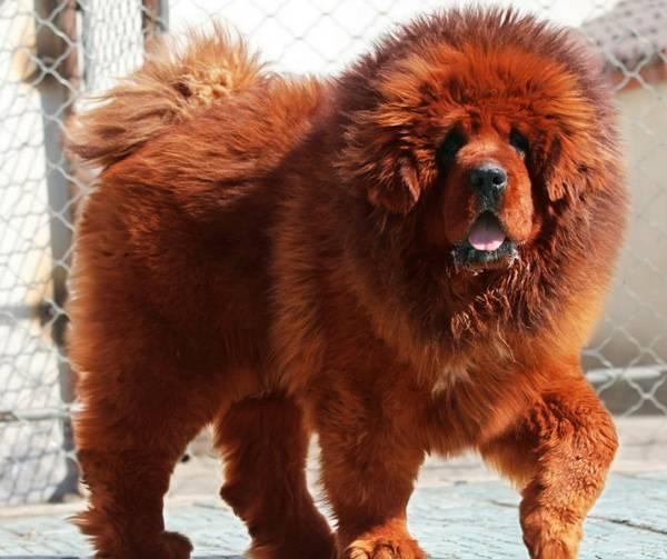 bear-like-dog-breeds-tibetan-mastiff.jpg
