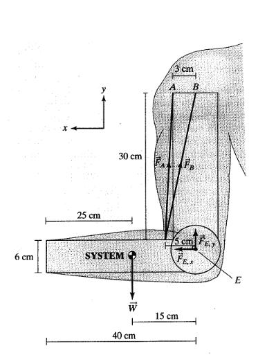 biceps brachii[2].png