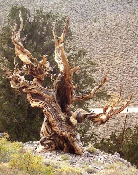 Bristle_cone_pine_2.jpg