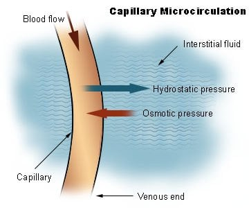 capillary_microcirculation.jpg