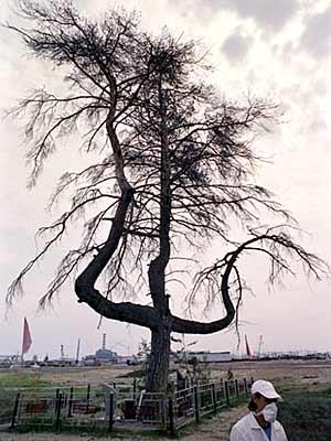 chernobyl-dying-tree-germans-used-to-hang-partisans-from-its-branches.jpe