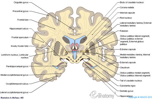 coronal-section-of-the-brain-frontal-coupe-de-charcot-en_medical512.jpg