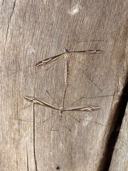 craneflies.jpg
