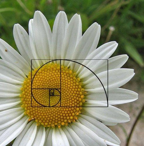 daisy-spiral.jpg