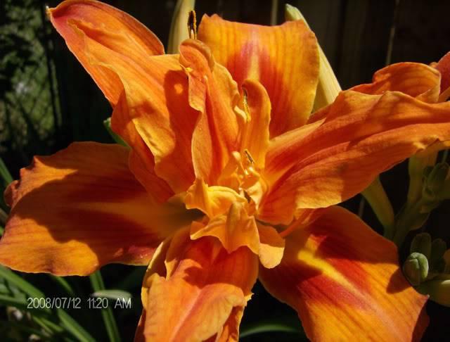daylilly1.jpg