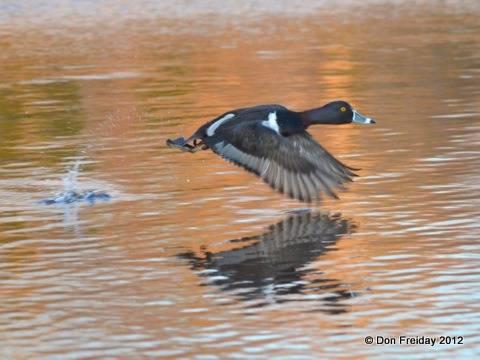 duck,+ring-necked+cox+hall+creek+wma+nj+feb+12+2012+dpf+014.jpg