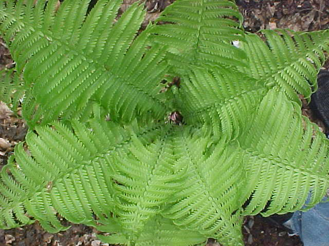 ferns02.jpg
