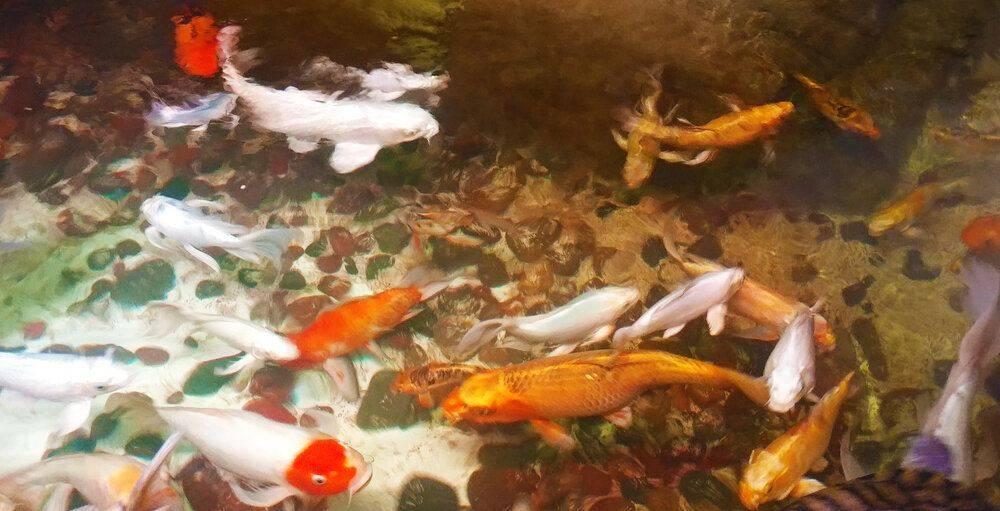 fish pond.jpg