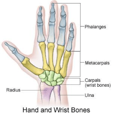 Hand_and_wirst_bones.png