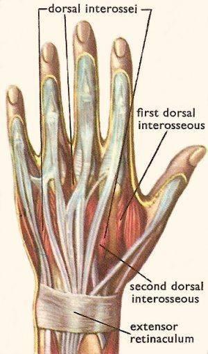 hand_muscles.jpg