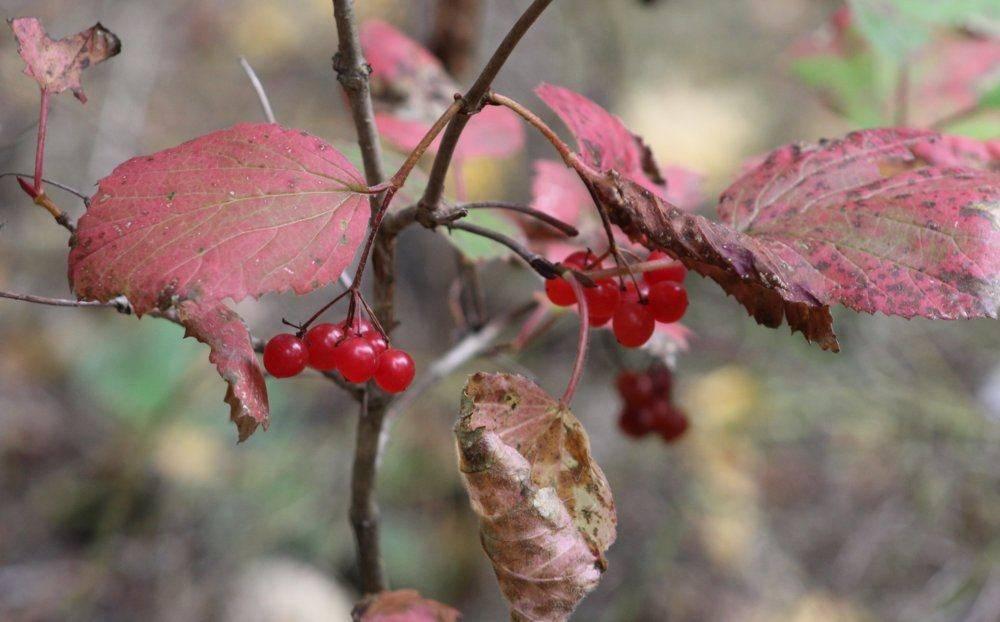 High Bush Cranberry.JPG