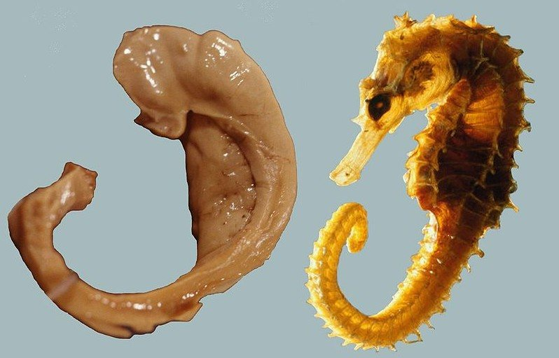 Hippocampus_and_seahorse_cropped.JPG