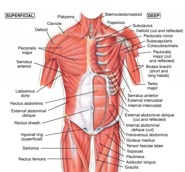 human-chest-muscle-anatomy-muscles-anatomy-chest-chart-of-human-shoulder-muscles-chest-muscles.jpg