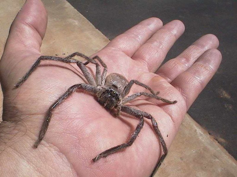 huntsman-spider.jpg