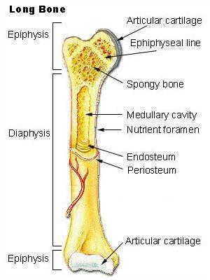 Illu_long_bone.jpg