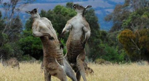 kangaroo-matt-walker-dpc.jpg