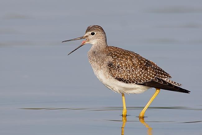 Lesser-Yellowlegs-worn-juvenile-w-bill-open-_V5W0488--Jamiaca-Bay-Wildlife-Refuge,-Queens,-NY.jpg