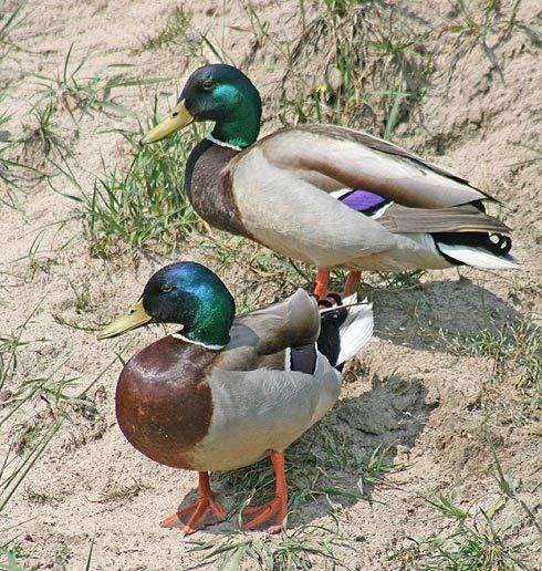 marcin_duck.jpg