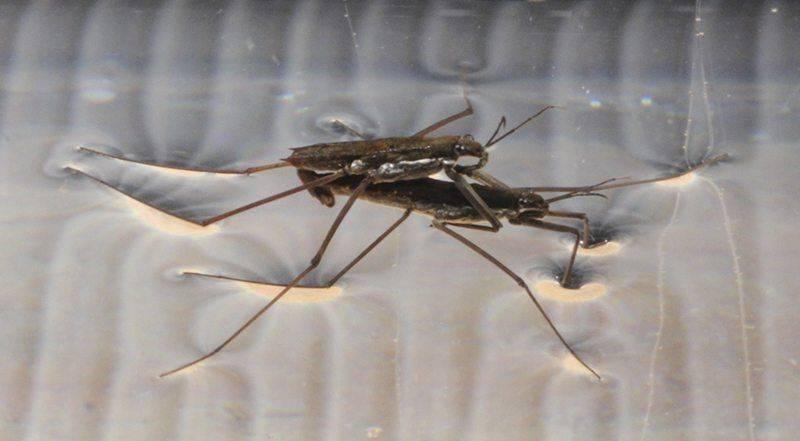 mating-water-striders-jpg.109133.jpg