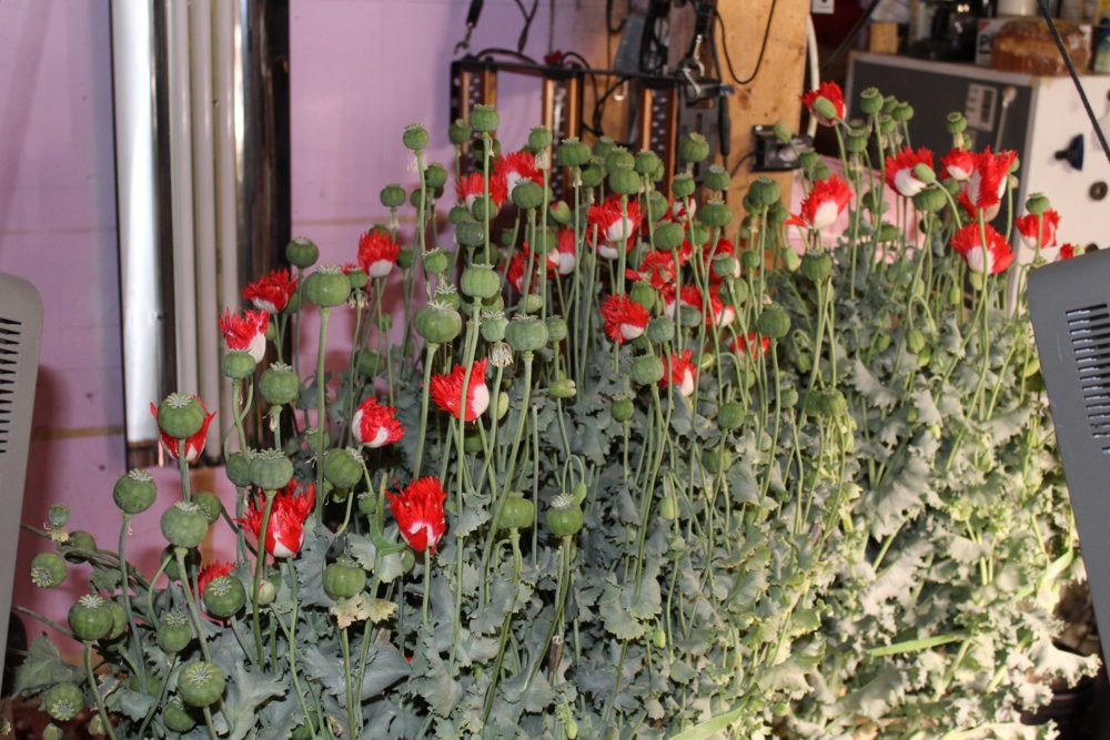 More than 100 pods showing in this photo.JPG