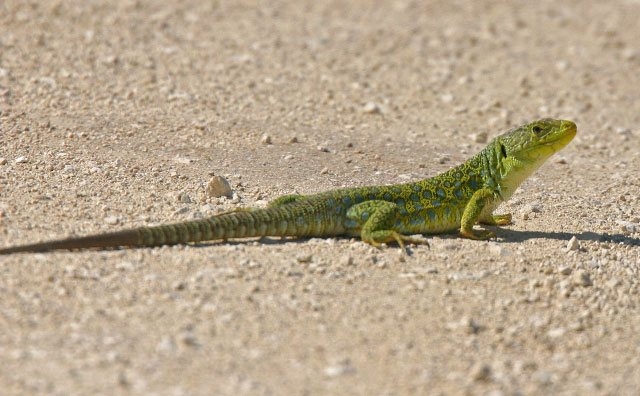 Ocellated-Lizard.jpg