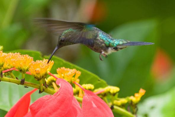 Peru07%20-%2031%20-%20Fork-tailed%20Woodnymph.jpg