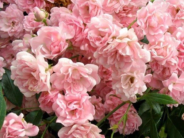 pink-rose-fairy.jpg