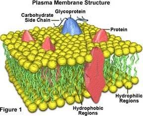 plasmamembrane2.jpg