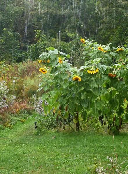 rainsunflowers.jpg