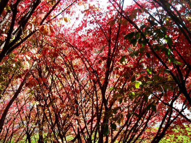 red_bush.jpg