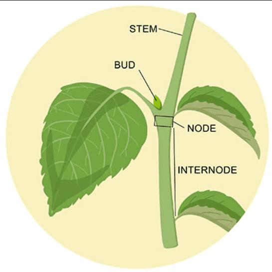 Screenshot_2020-12-17 leaf node plant - Google Search.png