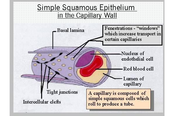 simple_squamous_capillary.jpg