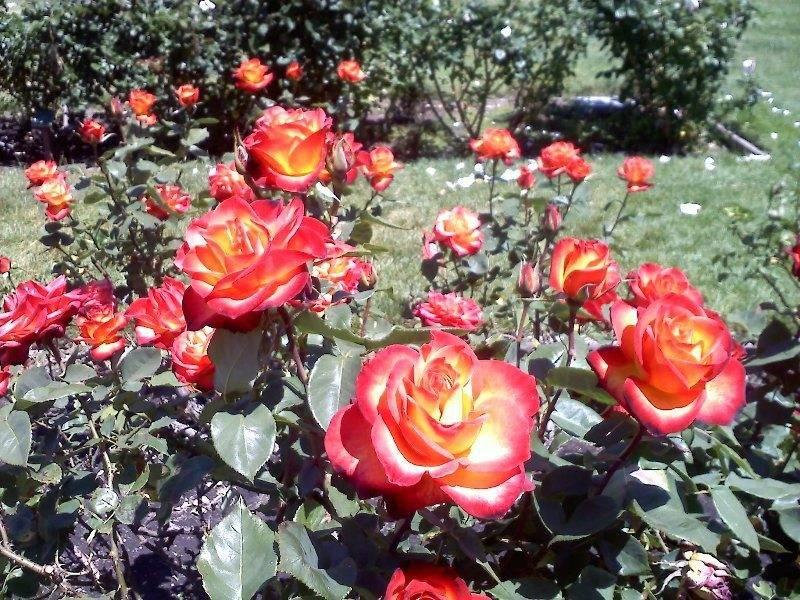sj-rose-garden-apr2013-red-roses-jpg.jpg
