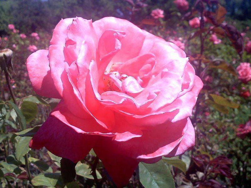 SJ Rose Garden smaller.jpg