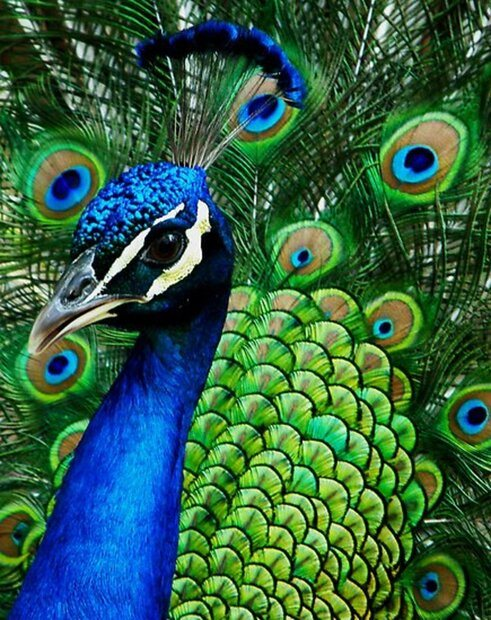 the-proud-peackcock-eight-fun-facts-on-the-indian-peacock.jpg